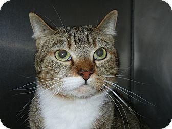 Domestic Shorthair Cat for adoption in Miami, Florida - C. Cody