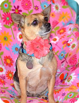 Chihuahua/Terrier (Unknown Type, Small) Mix Dog for adoption in Homewood, Alabama - Trixie