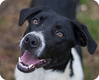 Labrador Retriever/Hound (Unknown Type) Mix Dog for adoption in Hot Springs, Arkansas - Braylee