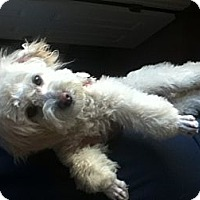 Adopt A Pet :: Romeo - RENO, NV