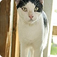 Domestic Shorthair Cat for adoption in Thibodaux, Louisiana - Teche FE1-8756