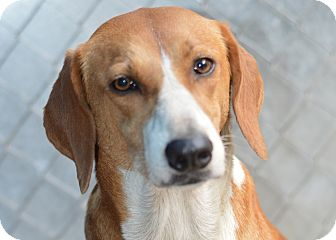 Shepherd (Unknown Type) Mix Dog for adoption in Henderson, North Carolina - Penny