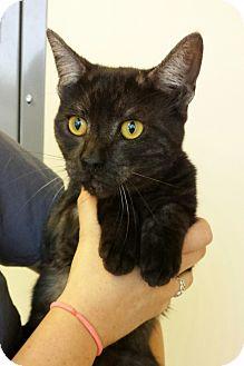 Egyptian Mau Cat for adoption in Mission Viejo, California - Flynn