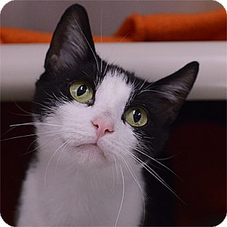 Domestic Shorthair Cat for adoption in Stillwater, Oklahoma - Luna