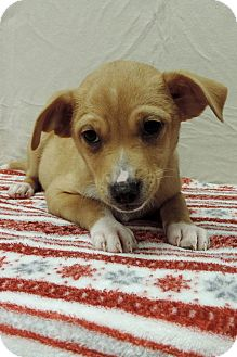 Chihuahua Mix Puppy for adoption in Brookings, South Dakota - Dave