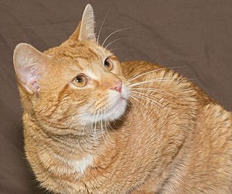 Domestic Shorthair Cat for adoption in Elmwood Park, New Jersey - Marco