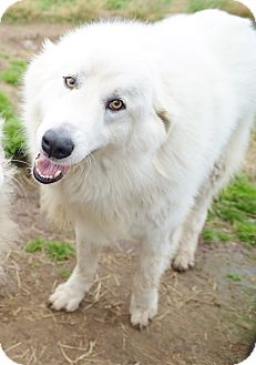 Great Pyrenees Dog for adoption in Iola, Texas - Palermo