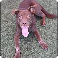 Adopt A Pet :: Mocha - Rockwall, TX