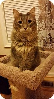Domestic Mediumhair Cat for adoption in Tega Cay, South Carolina - Leilani