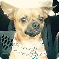 Adopt A Pet :: Chynna - Miami, FL