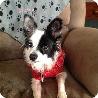 Papillon Mix Dog for adoption in Norman, Oklahoma - Whitney