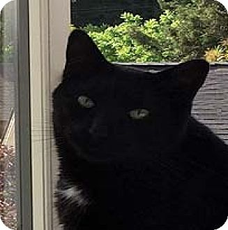 American Shorthair Cat for adoption in Tiburon, California - Hans