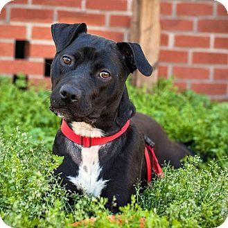 Labrador Retriever/Terrier (Unknown Type, Medium) Mix Dog for adoption in Kinston, North Carolina - Angel