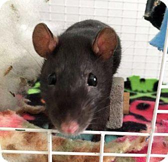 Rat for adoption in St. Paul, Minnesota - Lana