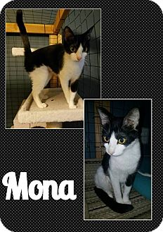 Domestic Shorthair Cat for adoption in North Richland Hills, Texas - Mona