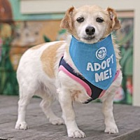 Adopt A Pet :: Chloe JRT - Pacific Grove, CA