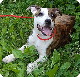 American Bulldog/Retriever (Unknown Type) Mix Puppy for adoption in Williamsport, Maryland - Delilah(18 lb) New Pics/Video