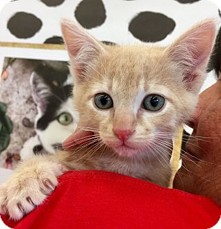 Domestic Mediumhair Kitten for adoption in Meridian, Idaho - Mr. Butterworth