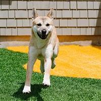 Jindo Mix Dog for adoption in Westbrook, Maine - Victor