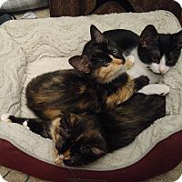 Adopt A Pet :: Kittens - Salem, NH