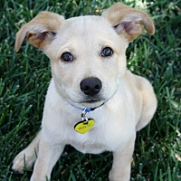 Adopt A Pet :: Reagan - Bellflower, CA