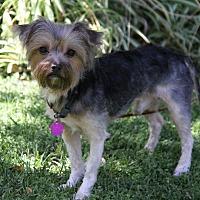 Adopt A Pet :: SHERIDAN - Newport Beach, CA