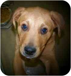 Labrador Retriever Mix Puppy for adoption in Bel Air, Maryland - Riley