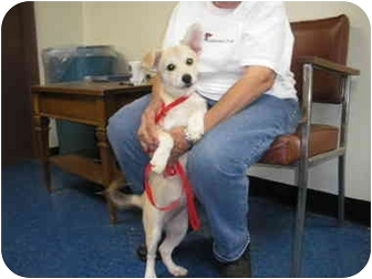 """Terrier (Unknown Type, Small) Mix Puppy for adoption in MARION, Virginia - """"Tess"""""""