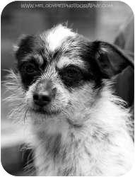 Chihuahua/Papillon Mix Dog for adoption in Mt Gretna, Pennsylvania - Van Gogh