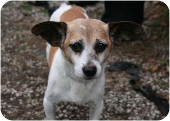 Chihuahua Mix Dog for adoption in Islip, New York - Olly