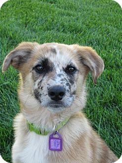 Australian Shepherd/Collie Mix Puppy for adoption in Saskatoon, Saskatchewan - Gabbana