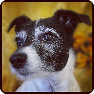 Jack Russell Terrier Mix Dog for adoption in High Point, North Carolina - Babs