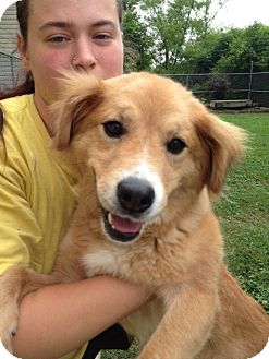 Golden Retriever Mix Dog for adoption in White River Junction, Vermont - Marilyn