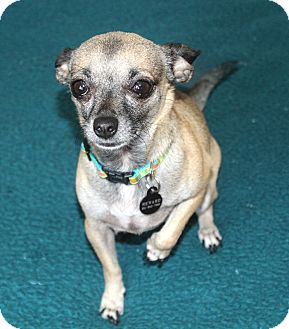 Chihuahua Dog for adoption in Yorba Linda, California - Penny - 5.4 lbs!