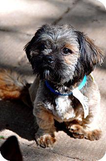 Shih Tzu Mix Dog for adoption in Guelph, Ontario - Cisco
