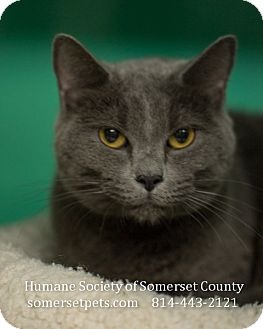 Domestic Shorthair Cat for adoption in Somerset, Pennsylvania - Rocky