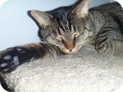 Domestic Shorthair Cat for adoption in Hamburg, New York - Stretch