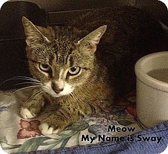 Domestic Shorthair Cat for adoption in Trevose, Pennsylvania - Sway