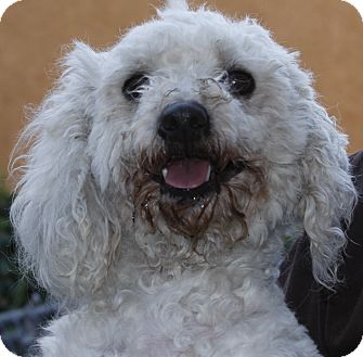 Poodle (Miniature)/Bichon Frise Mix Dog for adoption in Westminster, California - Gertie