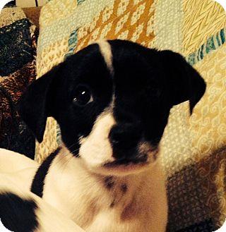 Rat Terrier/Beagle Mix Puppy for adoption in waterbury, Connecticut - Bobbi