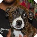 Pit Bull Terrier Mix Puppy for adoption in Brooklyn, New York - Lexie