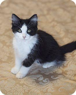 Domestic Mediumhair Kitten for adoption in Houston, Texas - Lilypad