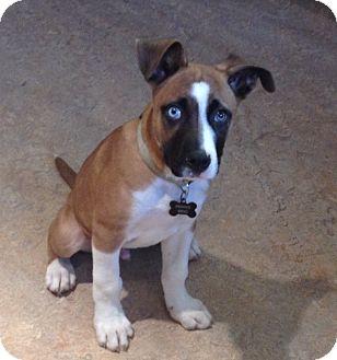 Boxer/Siberian Husky Mix Puppy for adoption in Allentown, Pennsylvania - Rudolph