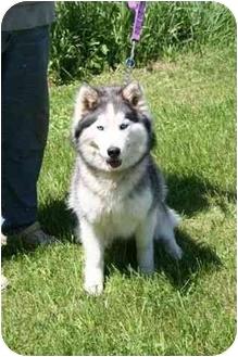 Siberian Husky Dog for adoption in Belleville, Michigan - Angel