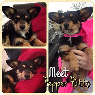 Chihuahua/Cairn Terrier Mix Dog for adoption in Phoenix, Arizona - Pepper Potts