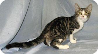 Domestic Shorthair Cat for adoption in Powell, Ohio - Gretta