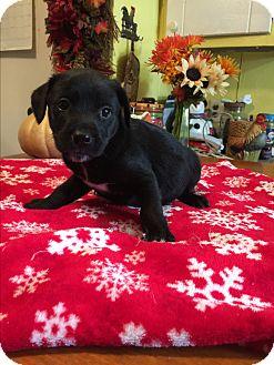 Labrador Retriever/Jack Russell Terrier Mix Puppy for adoption in Glastonbury, Connecticut - Mason
