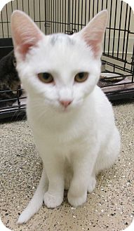 Domestic Shorthair Kitten for adoption in Circleville, Ohio - Baby Ruth