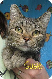 Domestic Shorthair Cat for adoption in Menomonie, Wisconsin - Susie