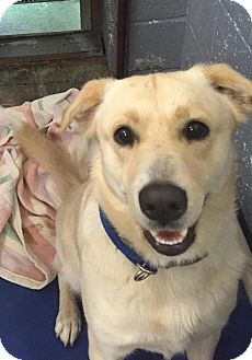 Labrador Retriever/Shepherd (Unknown Type) Mix Dog for adoption in Bloomingdale, New Jersey - Candy